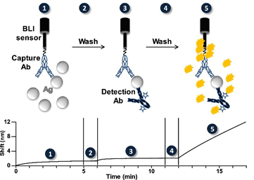 Schematic representation of the biolayer interferometry-based assay for rapid and highly-sensitive detection of biological warfa